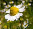 """Die echte Kamille ist eine der """"Allzweckwaffen"""" der Phytopharmakologie. © belizar / shutterstock.com"""