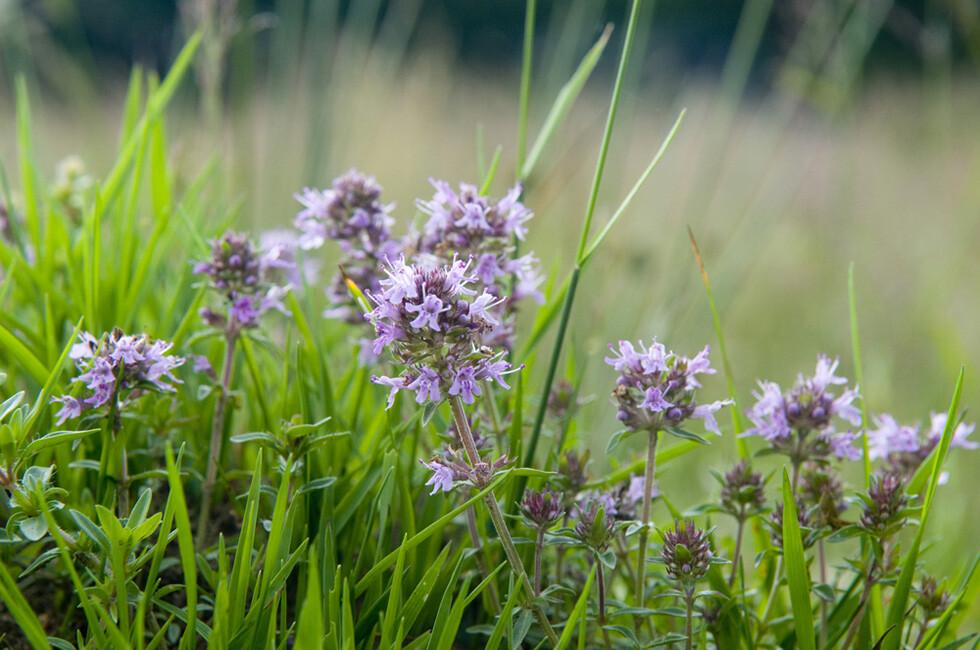 Die Arzneipflanze Thymian gilt bei Husten zur Desinfektion als besonders wertvoll. © Mykola Ivashchenko / shutterstock.com