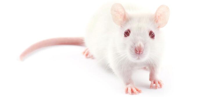 Die Wistar-Ratte ist ein häufig verwendeter Modellorganismus, zukünftig kann man vermutlich viele Tierversuche verhindern. © Pakhnyushcha / shutterstock.com