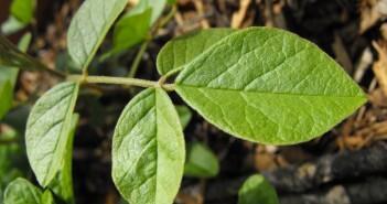 Laut den Wissenschaftern soll die im chinesischen Süßholz Glycyrrhiza uralensis vorhandene Substanz Isoliquiritigenin (ILG) in der Lage sein, das Risiko einer Fettleibigkeit infolge fettreicher Ernährung, sowie Diabetes Typ-2 und die Fettleberentstehung zu vermindern. © Stickpen via Wikimedia Commons