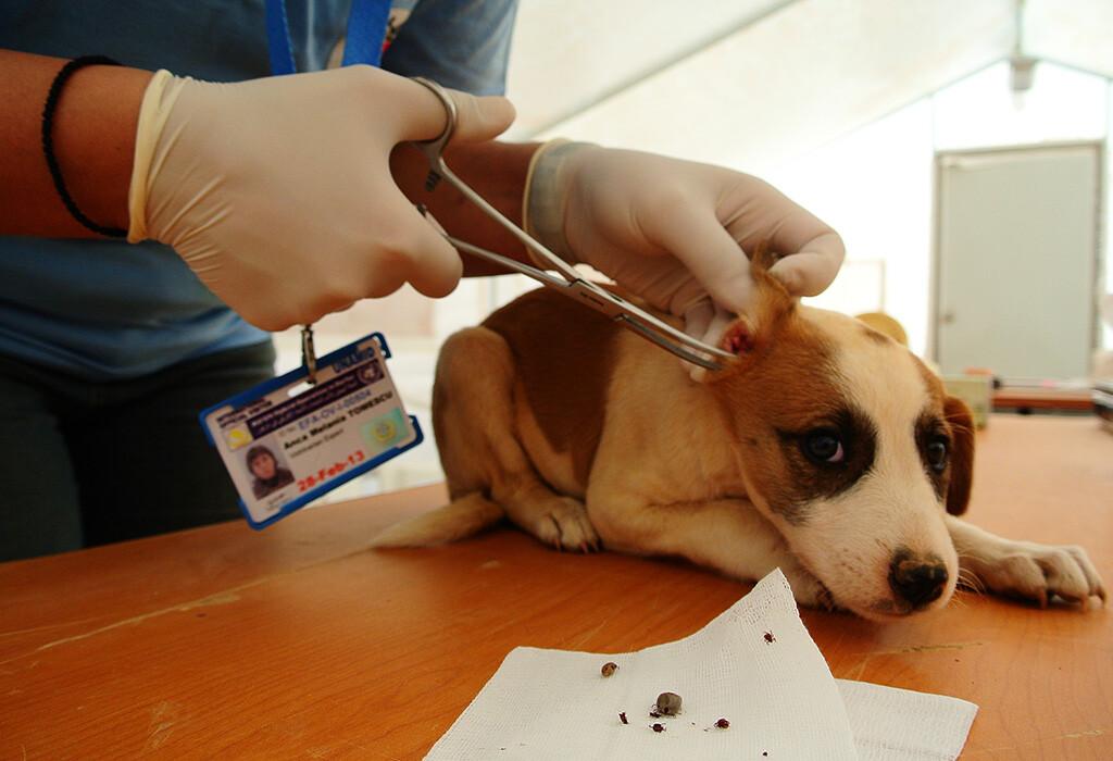 Bei diesem Hund musste der Tierarzt gleich mehrere Zecken entfernen © George Nedelcu / VIER PFOTEN