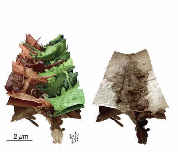 Abbildung zur Wundheilung: Aufsicht auf 17 Hautzellen, die gerade eine Hautöffnung verschließen. Die Membranen sind in Schattierungen von braun und grün dargestellt, damit einzelne Zellen sichtbar werden. Die Hautzellen entwickeln eine unglaubliche Flexibilität ihrer Membran, um den gegenüberliegenden Nachbarn zu finden. © Universität Frankfurt
