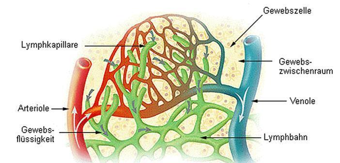 Lymphkapillaren im Gewebszwischenraum © Wikimedia