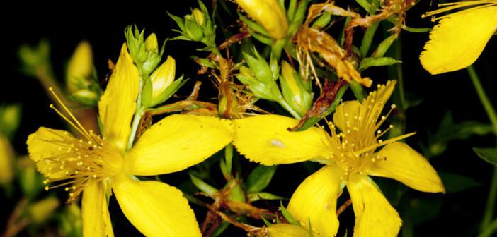 Es gibt etwa 450 Johanniskraut-Arten, davon 9 in Europa. Doch nur Hypericum perforatum L. wird arzneilich genutzt. © Bildagentur Zoonar GmbH / shutterstock.com