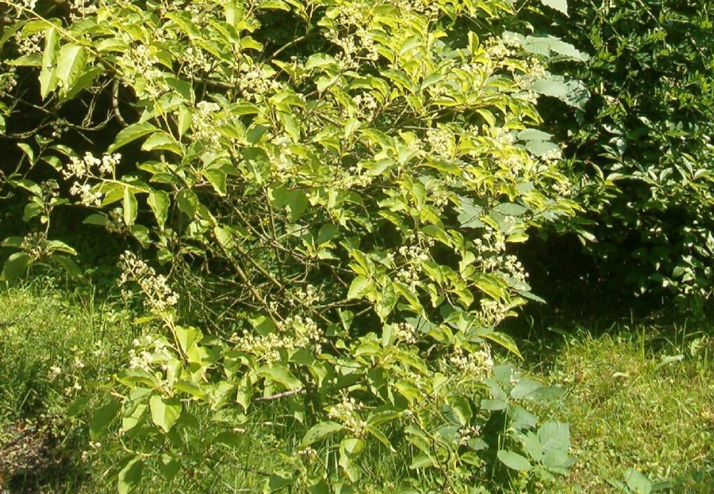 Tripterygium wilfordii – Wilfords Dreiflügelfrucht © CC / BotBln / Wikimedia