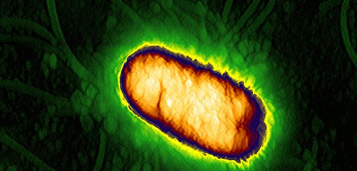 In der Zellhülle von Bakterien sorgen Transportermoleküle für die Aufnahme von Nährstoffen. Der Funktionsmechanismus wurde jetzt entschlüsselt. Die Aufnahme zeigt ein Escherichia coli Bakterium. © AG Mikrobiologie der Universität Osnabrück