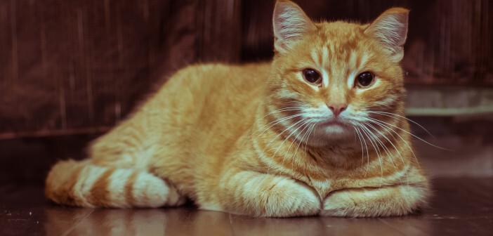 Toxoplasmose Katzenbesitzer: Risiko einer Protozoeninfektion durch Toxoplasma gondii, die vom eigenen Tier übertragen werden. © Anton Papulov / shutterstock.com