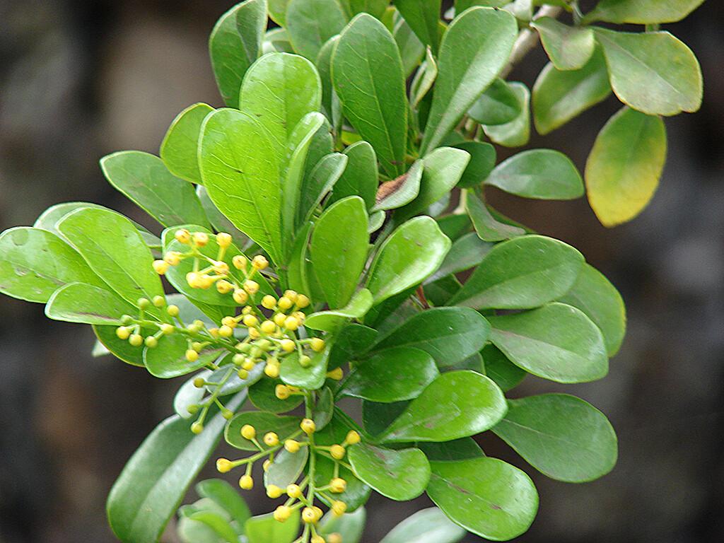 Der seltene Wirkstoff Silvestrol soll bei Dickdarmkrebs und Metastasen neue Hoffnung bieten. Silvestrol wird aus der Rinde des seltenen tropischen Baumes Aglaia odorata gewonnen. © Forest & Kim Starr / Common Creative CC 3.0