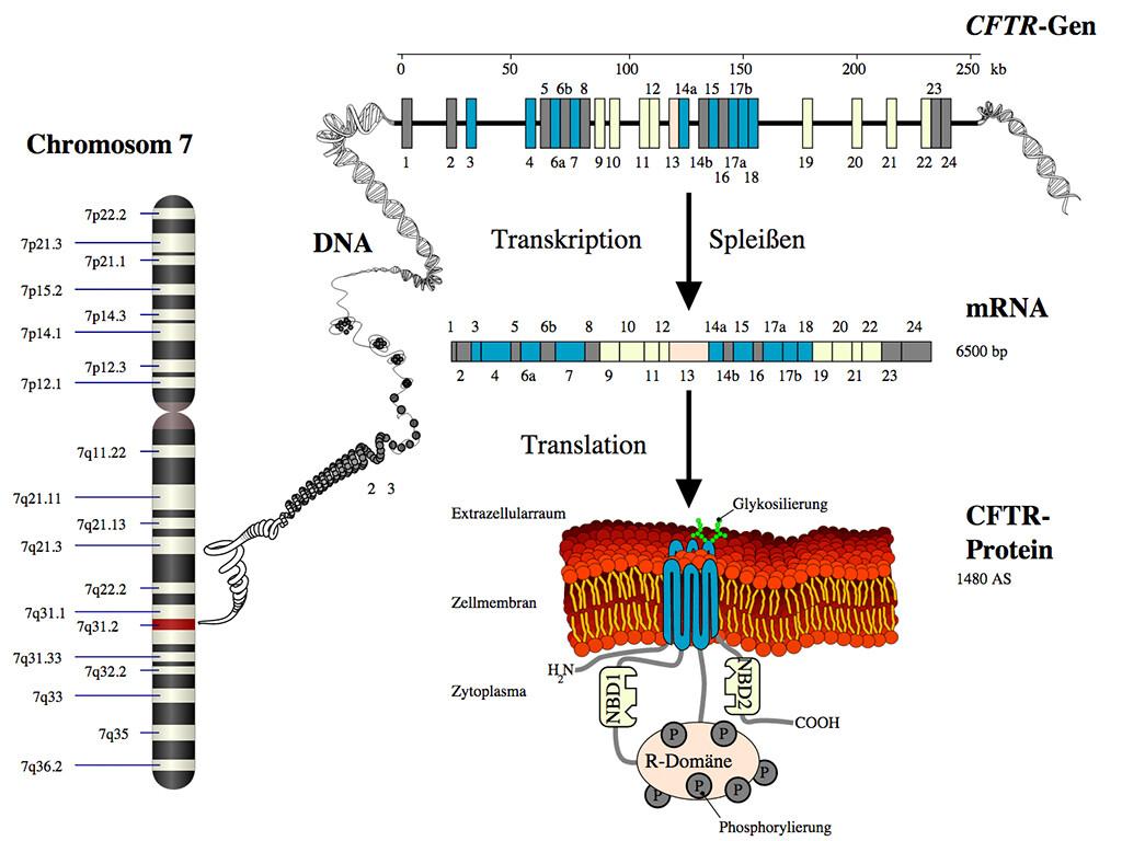 Bei der Gentherapie bei Mukoviszidose ist das Gen CFTR im Visier. © Armin Kübelbeck / Wikimedia / Common Creative