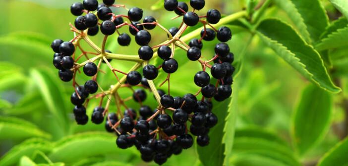 Schwarzer Holunder ist gesund. Hollunderblütensirup lässt sich sehr gut auch selber machen. © Benjamin Weller / shutterstock.com