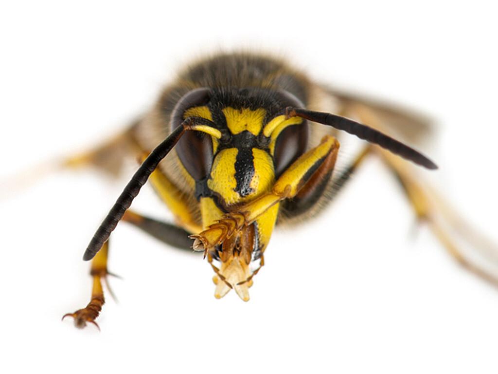 Insektenstiche müssen ernst genommen worden. © Eric Isselee / shutterstock.com