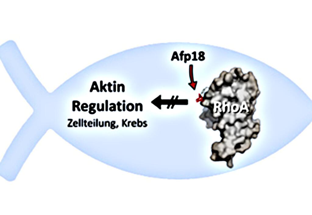 Das Forellengift Afp18 aus dem Erreger Yersinia ruckeri heftet ein Zuckermolekül an das Zellprotein RhoA und stört so die Aktinregulation der Zelle. Dies betrifft insbesondere die Zellteilung und Krebsmetastasierung. © Illustration: Dr. Thomas Jank