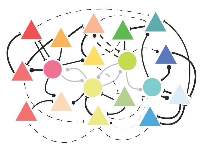 Durch Seherfahrung verstärken sich Verbindungen zwischen Nervenzellen, die auf ähnliche Reize reagieren (dicke Striche), während andere Verknüpfungen abgeschwächt werden (dünne Striche). © Stefan Rotter / Bernstein Center Freiburg, 2015