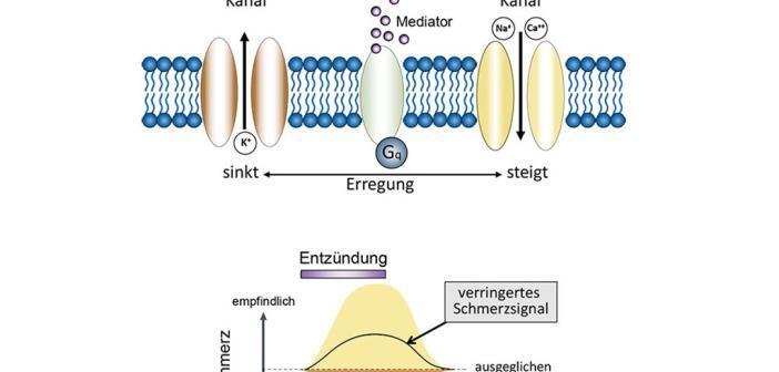 Entzündungsmediatoren wirken in doppelter Weise auf Nervenzellen, der Kaliumkanal TRESK spielt eine bedeutende Rolle. © Grafik: AG Wischmeyer