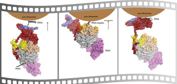 Der Exosom-Komplex hat verschiedene Möglichkeiten, Zellkern-RNA zurechtzuschneiden. © Debora Makino / MPI für Biochemie