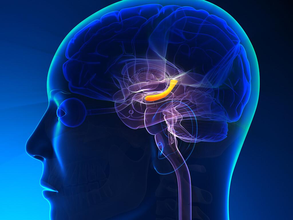 Wissenschafter haben die seit langem bestehende und weit verbreitete Annahme widerlegt, ein Mehr an Größe des Hippocampus mit einer verbesserten Gedächtnisfunktion verbunden ist. © decade3d - anatomy online / shutterstock.com