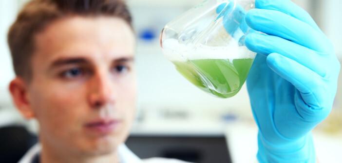 Der Krankheitserreger Pseudomonas aeruginosa bildet den grünen Farbstoff Pyocyanin, der als Virulenzfaktor an der Auslösung von Krankheitssymptomen beteiligt ist. © Christian Urban, Universität Kiel