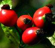 Die frischen Früchte der Hagebutte werden zu Mus, Marmeladen und Gesundheitsweinen sowie Likör verarbeitet.