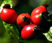 Hagebutte als altbekannte Heilpflanze bei Gelenkbeschwerden