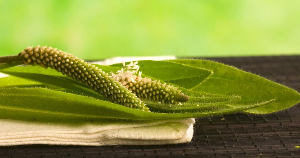 Vom Spitzwegerichwerden ausschließlich die Blätter verwendet. © nanka / shutterstock.com