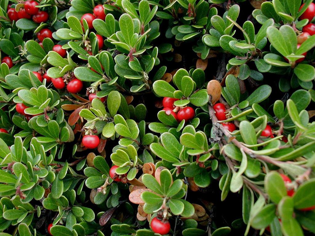 Bärentraubenblätter enthalten unter anderem Gerbstoffe, Flavone und Glykoside sowie vor allem Arbutin, das antibakteriell wirkt. © Sten Porse / CC BY-SA 3.0 / wikimedia