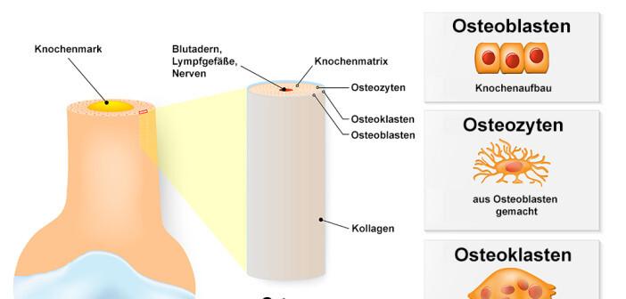 Struktur und Aufbau des Knochen © Designua / shutterstock.com
