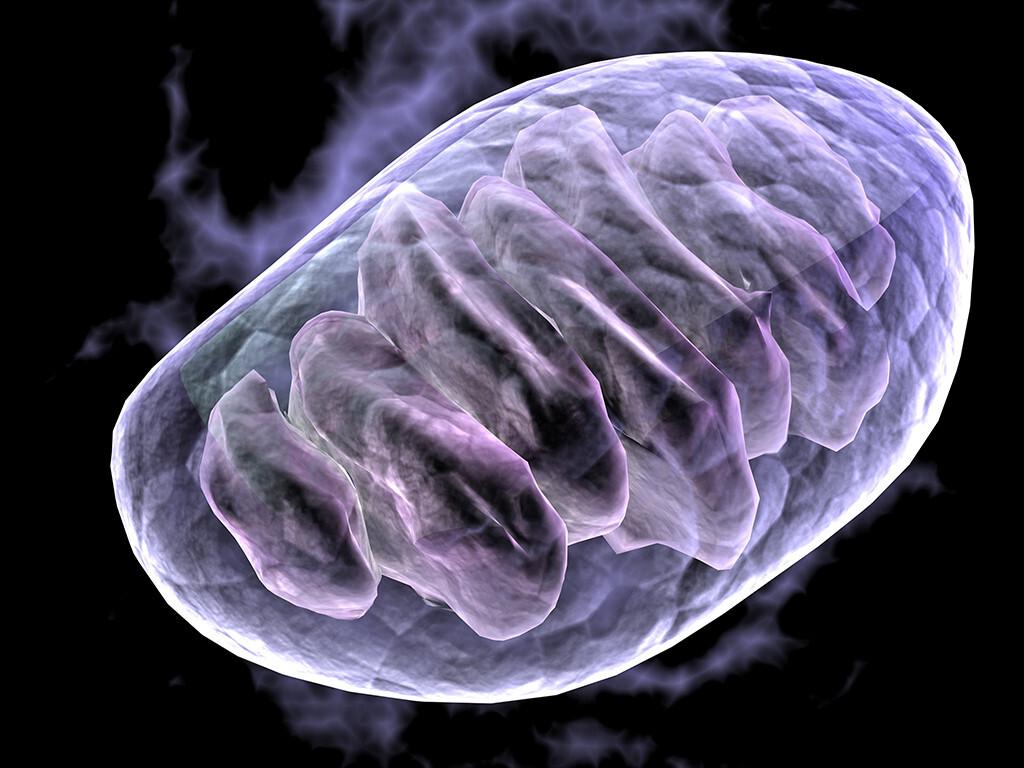 Schädigende Prozesse der Zelle sind u.a. die Schädigung von Mitochondrien durch Sauerstoffradikale aus der Zellatmung – oxidativer Stress. © MichaelTaylor / shutterstock.com