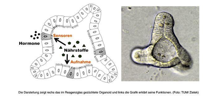 Ein Viertelmillimeter großes Organoid hat essenzielle Funktionen eines echten Darms. © TUM / Zietek