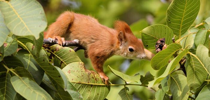 Nicht nur Menschen schätzen den Walnussbaum. © Bildagentur Zoonar GmbH / shutterstock.com