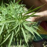 Vor allem eine Vielzahl unerwünschter Nebenwirkungen limitiert den Einsatz der Cannabinoide bei Rheuma. © Juan G. Aunion / shutterstock.com