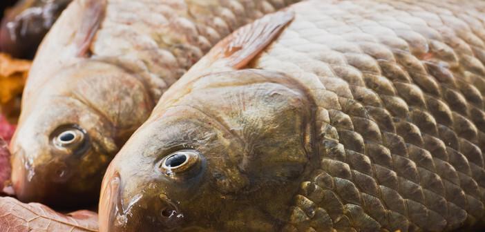Bekannt ist, dass fischreiche Ernährung mit den Omega-3-Fettsäuren kardiovaskuläre Erkrankungen seltener macht. © Auhustsinovich / shutterstock.com