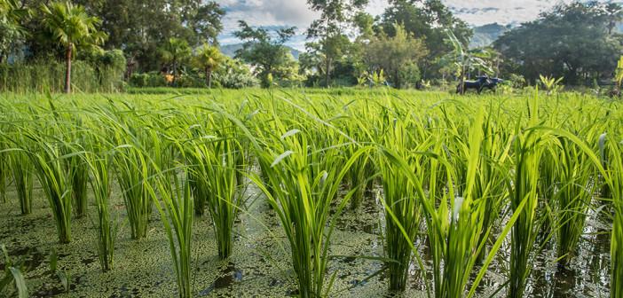 Arsen in Reis ist vor allem für Völker mit hohem Reisverbrauch sehr problematisch. © satit sewtiw / shutterstock.com