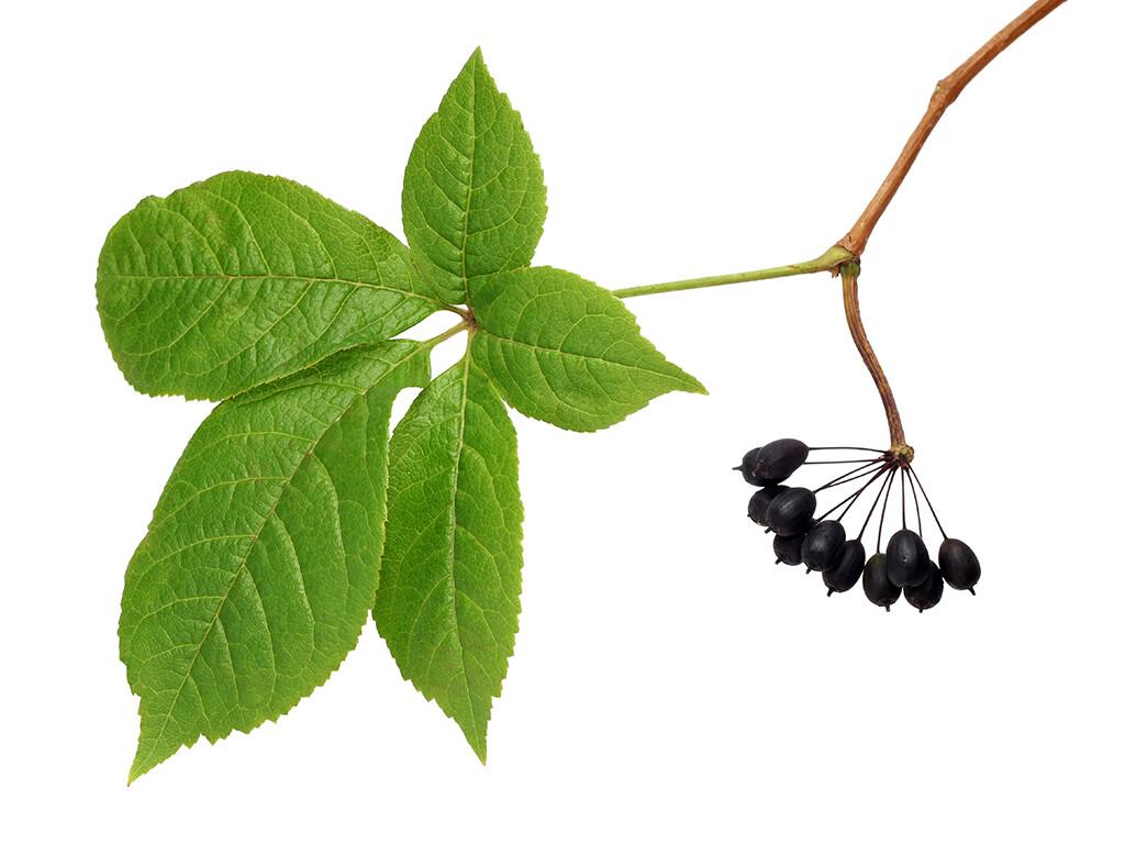 Blatt und Früchte von Eleutherococcus senticosus, demSibirischen Ginseng mit Taigawurzel