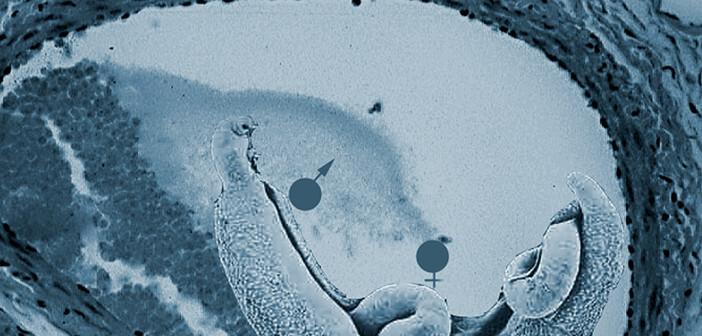 Pärchenegel, Schistosomen, verursachen die weit verbreitete Infektionskrankheit Bilharziose. © afcom.at