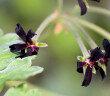 Pelargonium sidoides konnte positive Wirkungen in mehreren Studien unter Beweis stellen. © Martin Fowler shutterstock.com