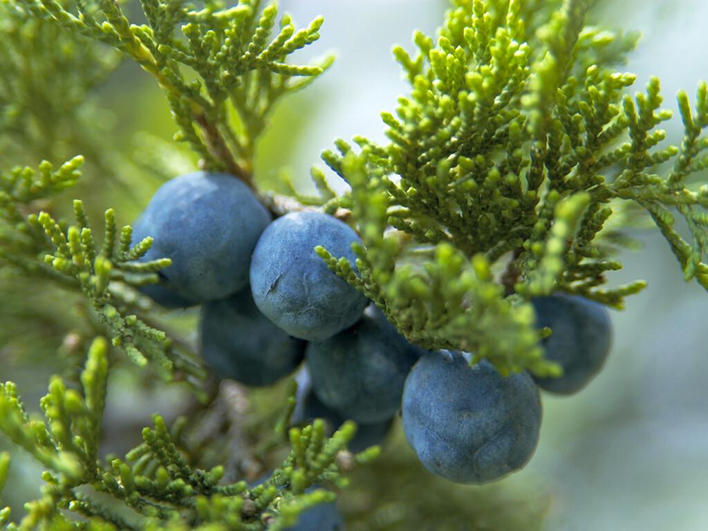 Der Sadembaum und seine Beeren (und auch alle anderen Bestandteile) sind giftig. © Mykola Ivashchenko / shutterstock.com