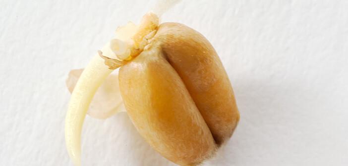 Weizenkeimlinge und Weizenkeimöl sind die Hauptlieferanten für Vitamin E. © TunedIn by Westend61 / shutterstock.com