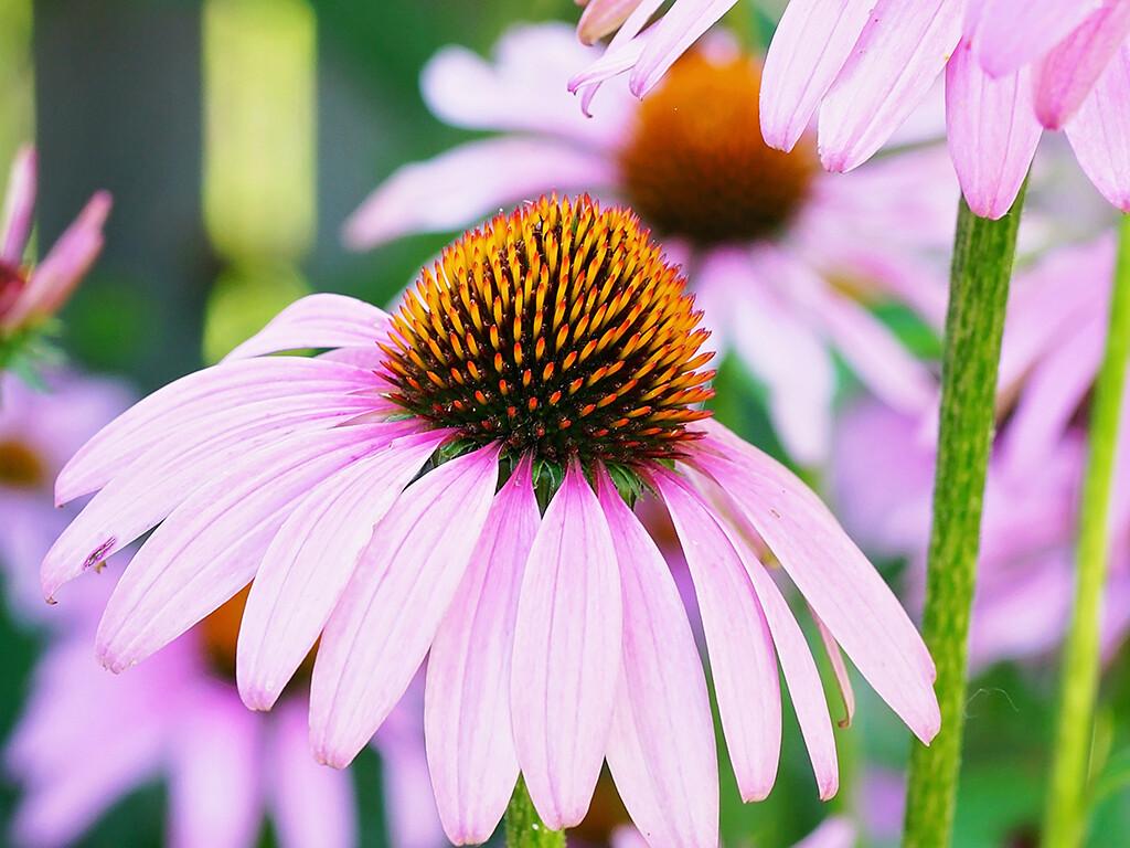 Alles in allem sind die Studiendaten, um eine Wirksamkeit von Echinacea-Präparaten zu belegen, eher dürftig. © Christine Ziober / shutterstock.com