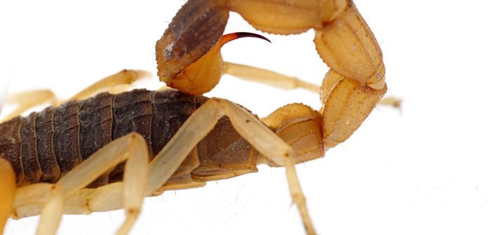 Skorpiongiftwird in der chinesischen Heilkunst als wirksames Mittel gegen neurologische Leiden wie chronische Schmerzen, Lähmungen, Schlaganfälle oder Epilepsie eingesetzt. © QiuJu Song / shutterstock.com