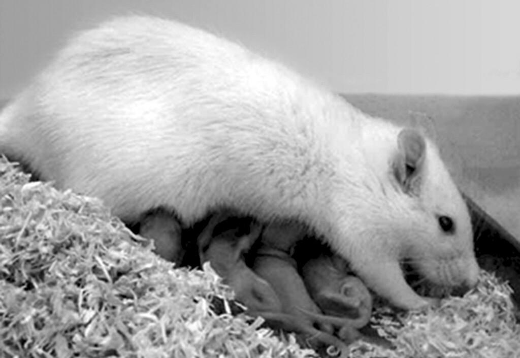 Forschung zu postnatale Depression und Angsterkrankungen: Rattenweibchen beim Säugen von Jungtieren. © Prof. Dr. Inga Neumann