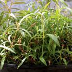 Der norwegische Arzt, Lorents Gran, konnte als erster eine pharmazeutische Wirkung von Zyklotid bei der Anwendung von medizinischem Tee aus den Blättern der Pflanze Oldenlandia affinis beobachten. © wikimedia