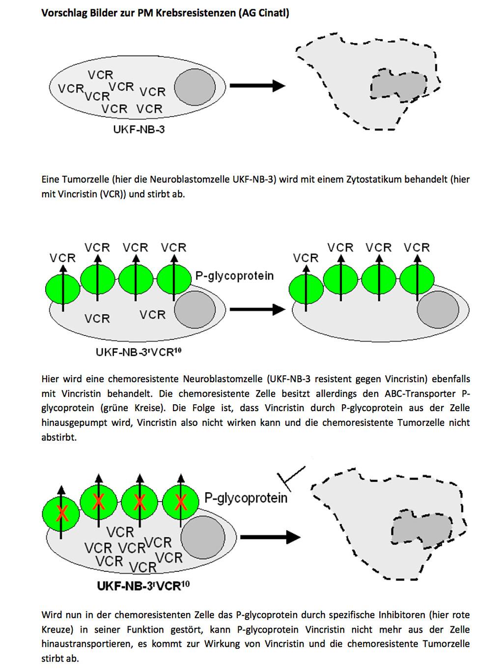 Zukünftig sollen ABCB1-Hemmer die medikamentösen Krebstherapien verbessern. © uni-frankfurt.de / 60434613