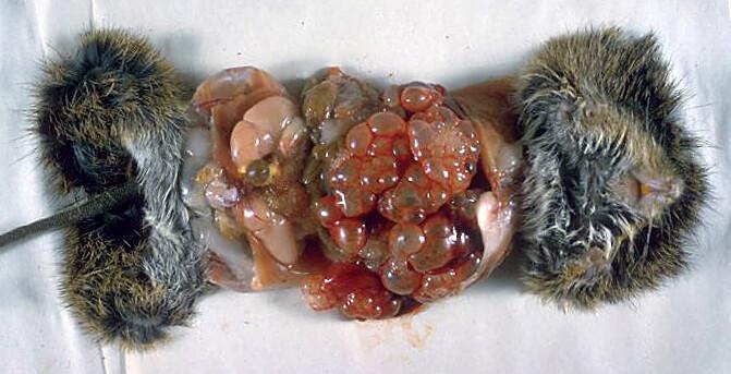 Fuchsbandurm-Larven (die Bläschen in der Bildmitte) in der Bauchhöhle einer Baumwollratte. © CDC / Dr. I. Kagan / Wikimedia Commons