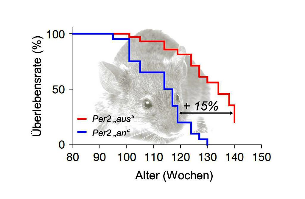 Das Ausschalten des Gens Per2 führt in Mäusen zu einer Verbesserung der Immunabwehr sowie zu einer Verlängerung der Lebensspanne um bis zu 15%. © Grafik: iStock / FLI / Wang et al. 2016
