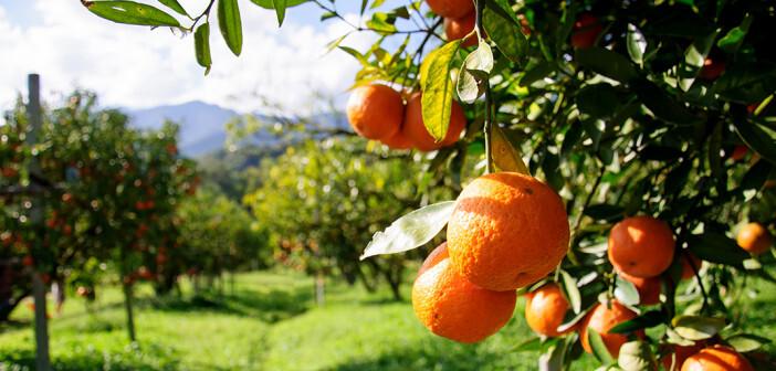 Orangenblüten oder Orangenschale geben beispielsweise Tee oder Punsch auf Rotweinbasis ein besonderes Aroma. © sripfoto / shutterstock.com