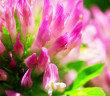 Isoflavone aus Rotklee gehören zu den beliebten Phytotherapeutika. © cobalt88 / shutterstock.com