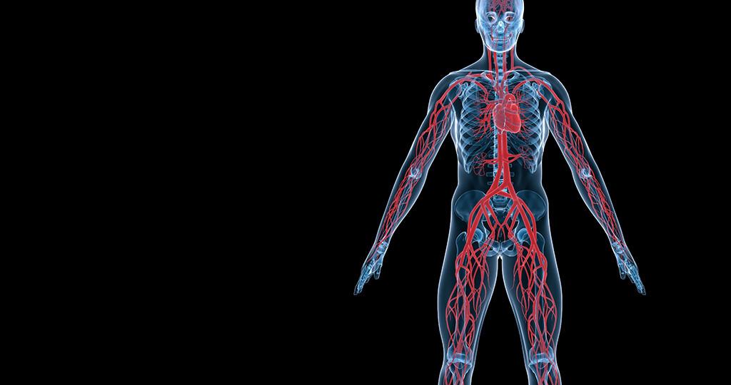 Die Gefäße spielen für gesundes Altern eine maßgebliche Rolle. © Sebastian Kaulitzki / shutterstock.com