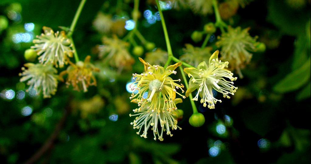 Als Heilpflanze sind Lindenblüten bzw. Lindenblüten-Tee seit langer Zeit bekannt und bewährt. © ArtMechanic / CC BY-SA 3.0