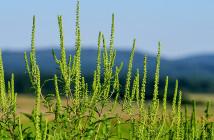 In den Ländern Europas werden Ragweedpollen zu einem großen Problem. © Bildagentur Zoonar GmbH / shutterstock.com