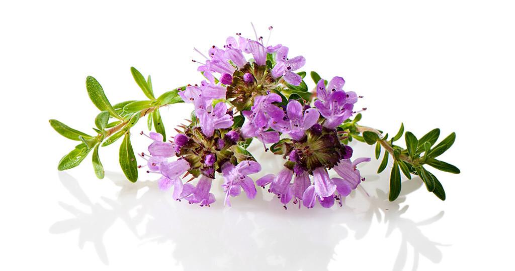 Thymian gehört zu den am häufigsten verwendeten pflanzlichen Expektorantien und ist Bestandteil vieler pflanzlicher Wirkstoffkombinationen gegen Husten und Bronchitis. © Annaev / shutterstock.com